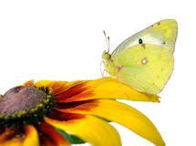 Butterfly pale clouded yellow on a flower. beautiful yellow butterfly on flowers isolated on a white. Butterfly pale clouded yellow on a flower. beautiful royalty free stock photos