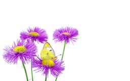 Butterfly pale clouded yellow on a flowers. beautiful yellow butterfly on flowers isolated on a white. Butterfly pale clouded yellow on a flowers. beautiful royalty free stock photo