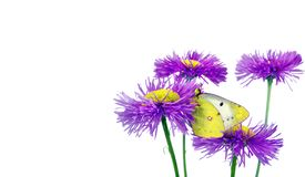 Butterfly pale clouded yellow on a flowers. beautiful yellow butterfly on flowers isolated on a white. Butterfly pale clouded yellow on a flowers. beautiful stock photography