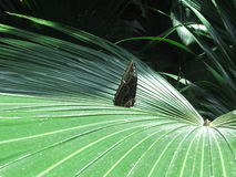Butterfly Palm. I love the way this butterfly looks on this palm branch, it gives the photo depth Royalty Free Stock Photo