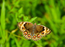 Butterfly Pansy Blue (Female) Royalty Free Stock Image