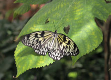 Butterfly (Paper Kite) on a green leaf Royalty Free Stock Image
