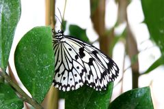 Butterfly paper kite Idea leuconoe Insect Stock Photography