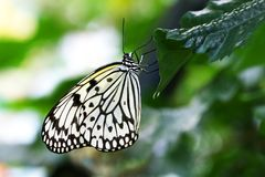 Butterfly paper kite Idea leuconoe Insect Royalty Free Stock Photography