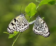 Butterfly - Paper Kite Mating. Paper Kite Butterfly  Mating On Plant Stock Image