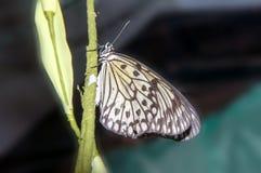Butterfly paper snakes  or Idea leuconoe Stock Photos