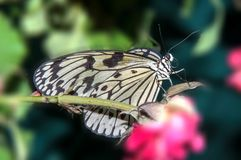 Butterfly paper snakes  or Idea leuconoe Royalty Free Stock Photography