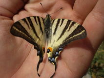 Butterfly (papilio). Butterfly laying in the hand Stock Photo