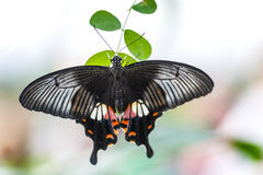 Butterfly papilio bianor. Image of a butterfly papilio bianor on a green leave stock image