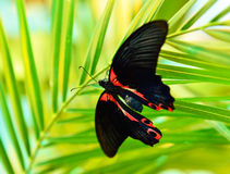 Butterfly Papilio deiphobus rumanzovia Royalty Free Stock Image