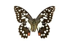 Butterfly Papilio Demoleus isolated Stock Photos