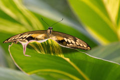 Butterfly Papilio Glaucus Stock Images