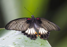 Butterfly Papilio Lowi Stock Photos