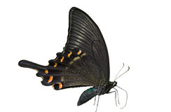 Butterfly (Papilio maackii) 16 Stock Image