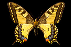 Butterfly, Papilio Machaon royalty free stock photo