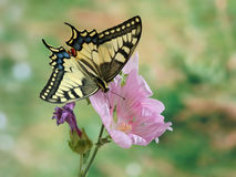 Butterfly Papilio machaon Royalty Free Stock Image