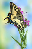 Butterfly Papilio machaon. (Common Yellow Swallowtail) on the flower stock photography