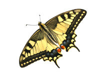 Butterfly Papilio machaon Stock Images