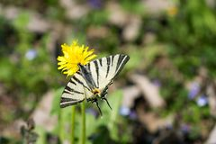 Butterfly Papilio machaon, common white swallowtail standing on yellow flower. royalty free stock image