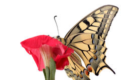 Butterfly Papilio Machaon on flower. Close up of butterfly Papilio Machaon on flower petunia Stock Images