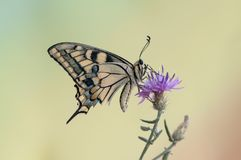 butterfly Papilio machaon on the flower spread its wings on a summer day stock image