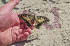 Butterfly Papilio machaon laid on a hand Royalty Free Stock Image