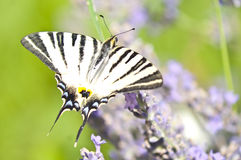 Butterfly Papilio Machaon on lavender Royalty Free Stock Photos