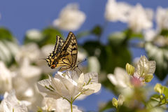 The butterfly Papilio machaon Royalty Free Stock Photo