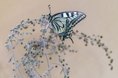 Butterfly Papilio machaon  spread its wings on a summer day basking in the dry grass royalty free stock image