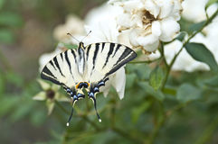 Butterfly Papilio Machaon on a white rose Royalty Free Stock Photography