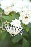 Butterfly Papilio Machaon on a white rose Stock Photography