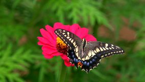 Butterfly Papilio machaon on Zinnia flower stock photo
