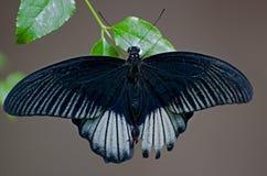 Butterfly Papilio memnon agenor Stock Photo