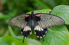 Butterfly Papilio memnon Royalty Free Stock Photography