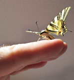 Butterfly Papilio in one hand Royalty Free Stock Photography