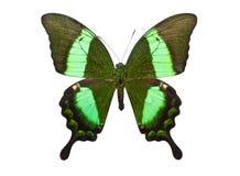 Butterfly Papilio Palinurus Royalty Free Stock Photo