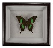 Butterfly Papilio palinurus in frame isolated on white background.  royalty free stock photo