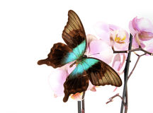 Butterfly papilio peranthus Royalty Free Stock Photo
