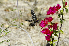 Butterfly-Papilio Pharmacophagus Antenor Royalty Free Stock Image