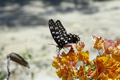 Butterfly-Papilio Pharmacophagus Antenor Stock Photo