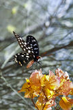 Butterfly-Papilio Pharmacophagus Antenor Royalty Free Stock Images