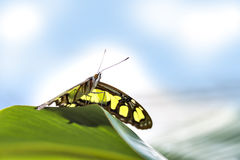 Butterfly papilio Stock Images