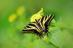 Butterfly Papilio pilumnus, in the nature green forest habitat, South of USA, Arizona. Butterfly sitting on the green leave. Red i. Butterfly Papilio pilumnus stock image