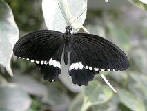 Butterfly (papilio polytes) Stock Image