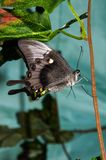 Butterfly Papilio, Royalty Free Stock Photography