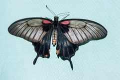 Butterfly Papilio, Stock Photography