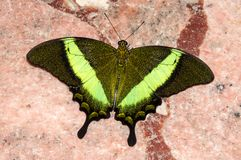 Butterfly Papilio, Royalty Free Stock Images