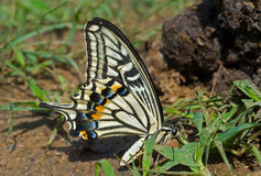 Butterfly (Papilio xuthus) 16 Royalty Free Stock Photography