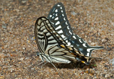 Butterfly (Papilio xuthus) 17 Stock Image