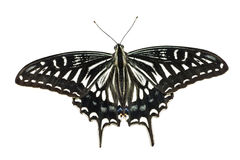 Butterfly (Papilio xuthus) 2 Royalty Free Stock Photos